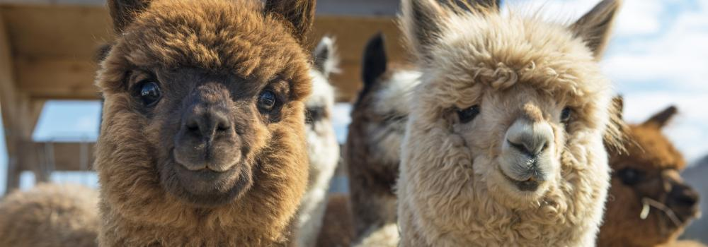 Llamas and alpacas are pretty different.
